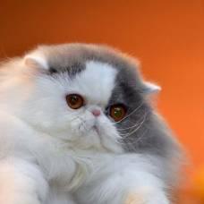 Самые востребованные породы кошек в