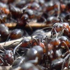 Сумасшедшие муравьи сотрудничают для