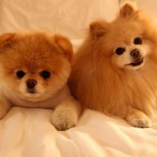 Тибетский мастиф  описание породы и фото собаки