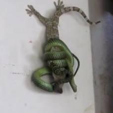 В израиле змея укусила порнозвезду в грудь и умерла отравившись силиконом видео