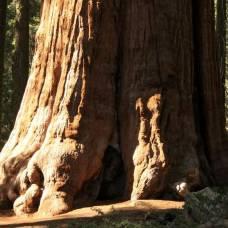 Cеквойя самое высокое дерево на земле